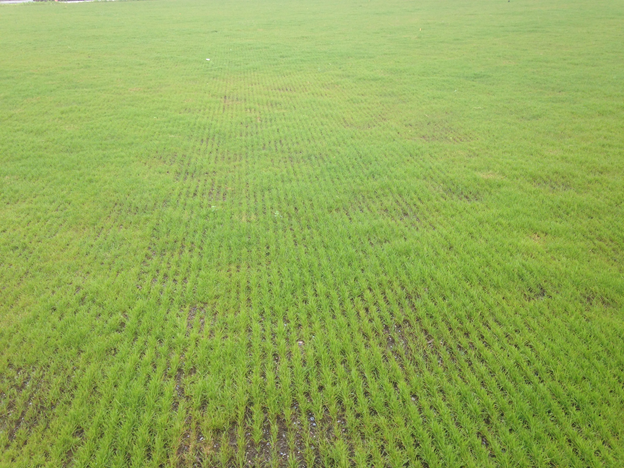 Rows of new turfgrass seedlings; soil is still visible in areas.