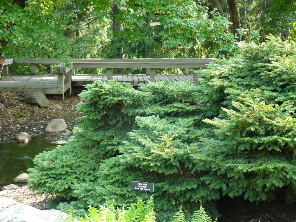 An evergreen shrub next to a creek with rocks, trees and a bridge in the background.