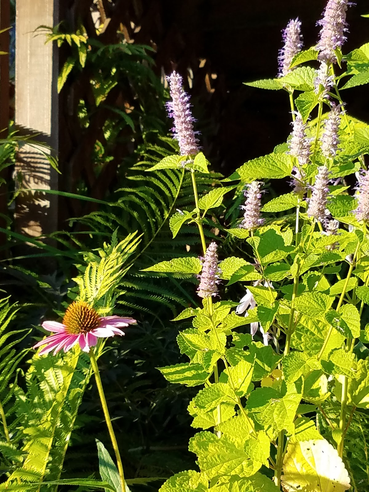 Pink coneflower planted next to lavender anise hyssop (Agastache foeniculum) in a home garden.