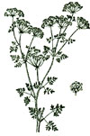 An illustration of a poison hemlock