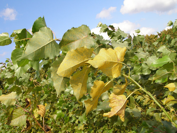 yellow, curling leaves on a leafy plant outside