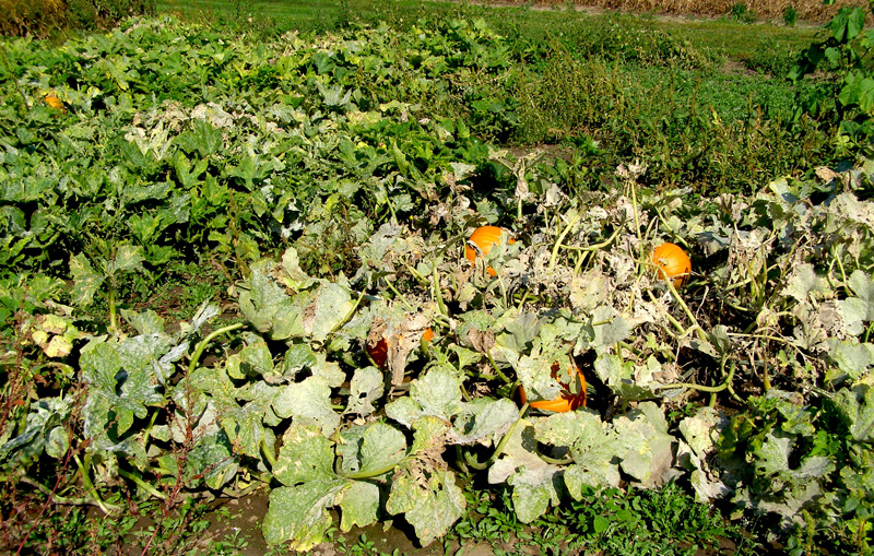 Pumpkin patch infected by powdery mildew, white spots on leaves