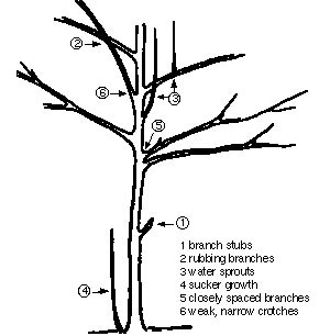 diagram of tree illustrating in numbered order on the tree parts: 1. branch stubs, 2. rubbing branches. 3. water sprouts, 4. sucker growth, 5. closely spaces branches, 6. weak, narrow crotches