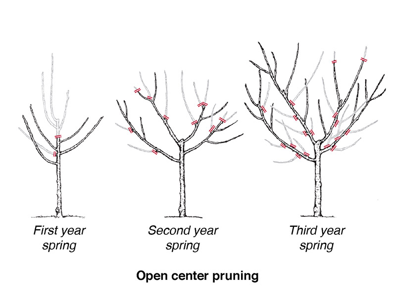 diagram of the open center method of pruning fruit trees showing a small, first-year tree with 4 branches, a second year tree with small branches coming off the 4 main branches, then a third-year tree with many new branches growing to make a round-shaped tree