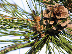 A red pine cone.
