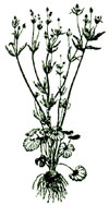 An illustration of a buttercup plant