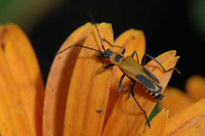 A dull orange insect with one black patch on each of its wing covers sitting on a flower with orange petals