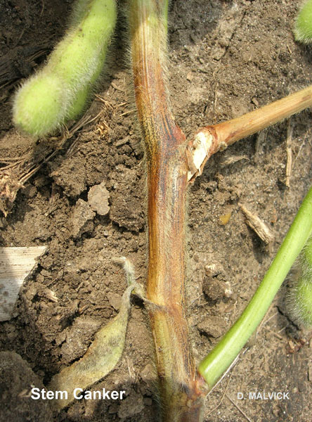 close up of soybean stem with brown and green branches.