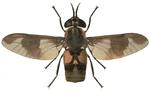 Adult deer fly