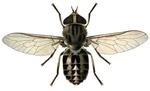 Adult horse fly