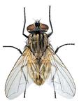 Adult house fly