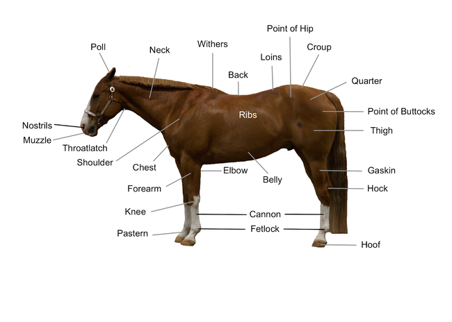 Diagram of horse that points to the location of different body parts including poll, neck, withers, back, ribs, loins, point of hip, croup, quarter, points of buttocks, thigh, gaskin, hock, hoof, fetlock, cannon, belly, elbow, pastern, knee, forearm, chest, shoulder, throatlatch, muzzle and nostrils.
