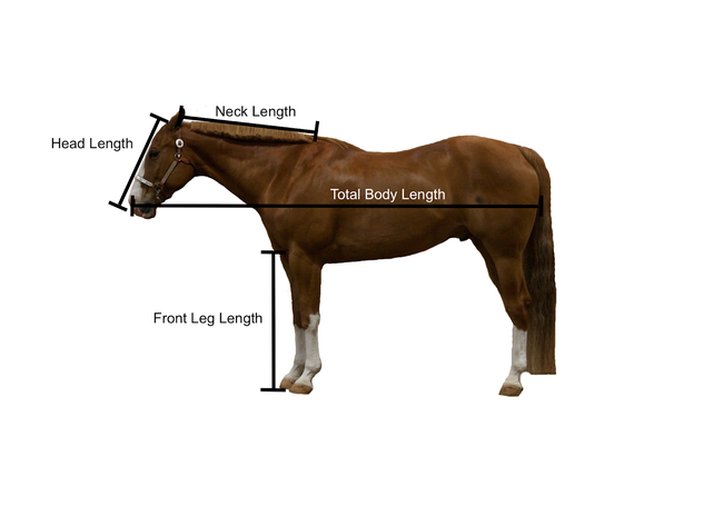 Side view of horse with lines indicating head length, neck length, front leg length and total body length.