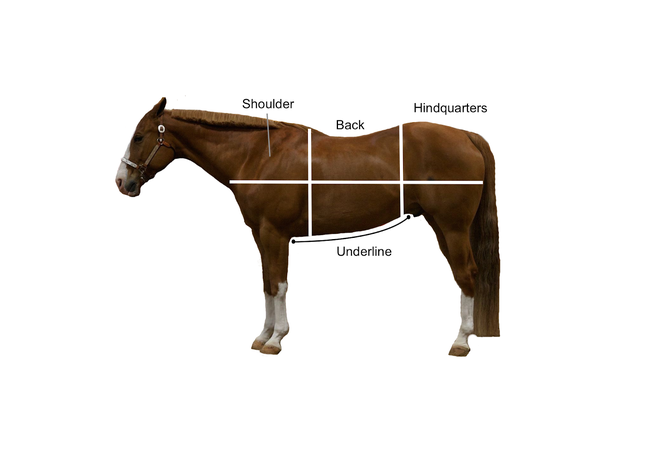 Diagram of horse with shoulder, back, hindquarters and underline indicated.