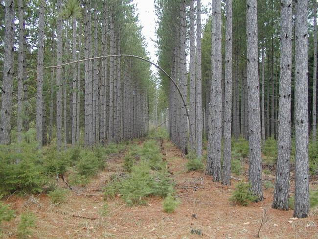 White pine saplings growing under red pine canopy