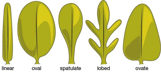 Cotyledon and leaf shapes