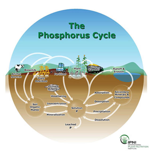 image showing how phosphorus cycles through the soils
