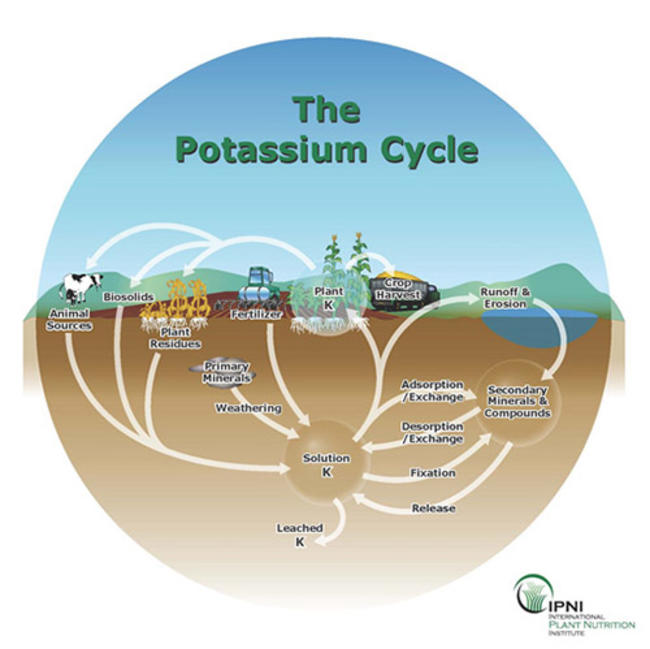 illustration of the potassium cycle