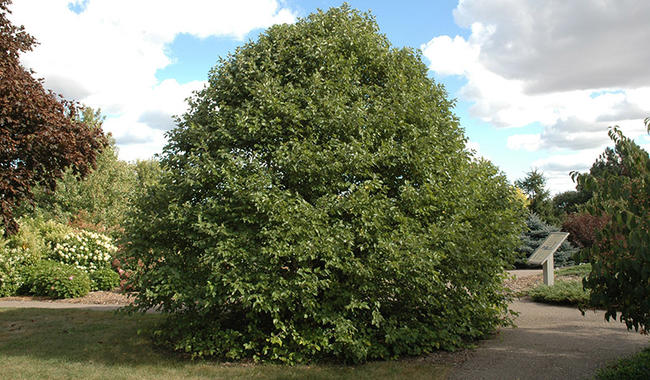Fox Valley river birch is a small shrub-like tree with a rounded compact shape