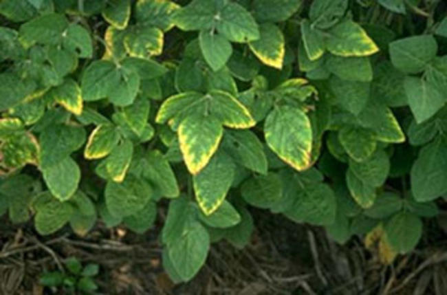 Soybean plant with yellowing of leaves margins