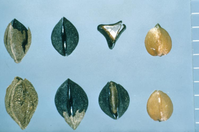 Wild buckwheat's triangular seeds: Shows eight seeds of slightly different sizes and colors.