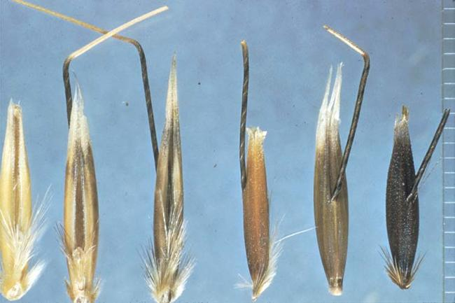 Wild oat seeds or grains.