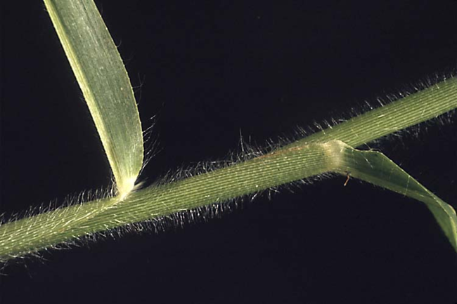 Wild proso millet leaf sheath.