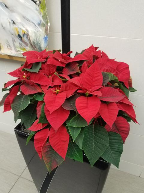 The Traditional Red Poinsettia