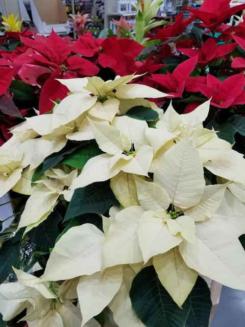 Poinsettias Of Red Pink And Creamy White Color