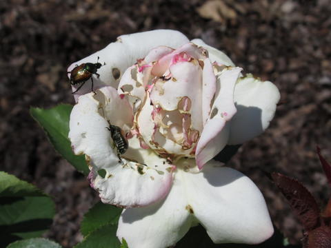 Rose with holes in petals and two Japanese beetles crawling on it.