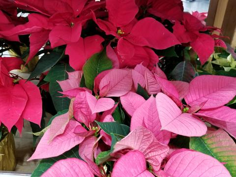 Growing And Caring For Poinsettia Umn Extension
