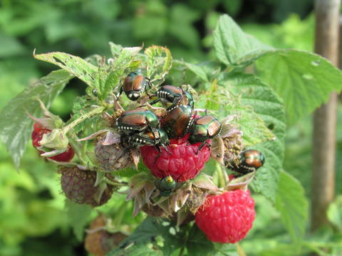 Many Japanese beetles crawling on a red raspberry plant in a garden