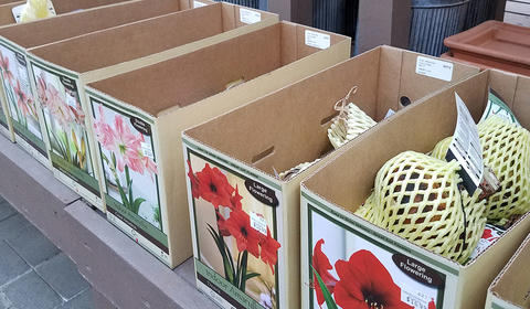 amaryllis bulbs in labeled boxes on a table.