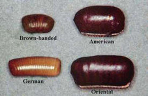 Egg cases of different species are of different sizes and colors