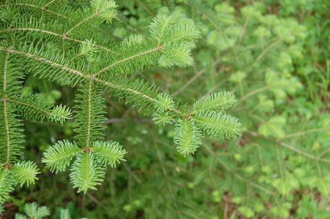 balsam fir branches