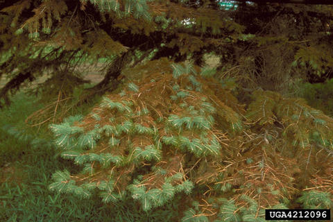 Spruce branches with brown needles