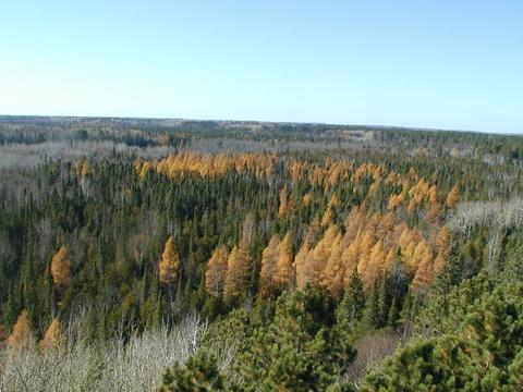 Tamarack among other conifer trees
