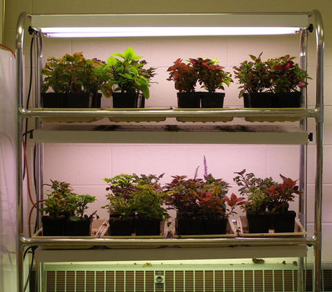 Plants growing indoors on shelves with grow lights