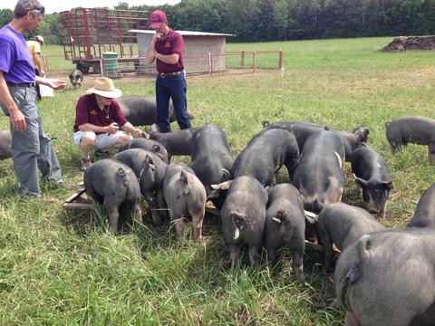 Organic pigs eating ration out of their feeding trough
