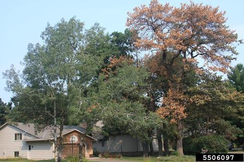 Two mature oak trees grow side-by-side, one with brown leaves due to oak wilt.
