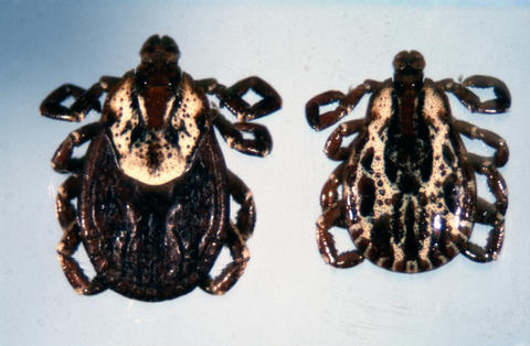 Two ticks with dark bodies and light colored area on the backs of their heads. Their legs are curled under. The one on the left is larger than the one on the right.