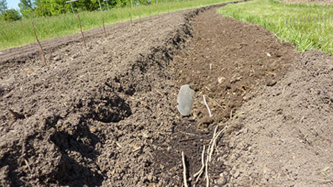 Asparagus furrow being filled after planting.