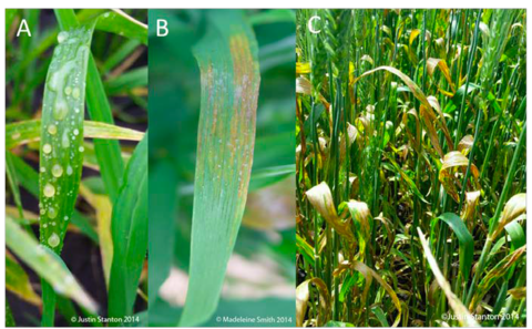 Stages of bacterial leaf streak infection