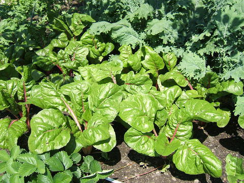 Green Swiss chard plants with pink stems