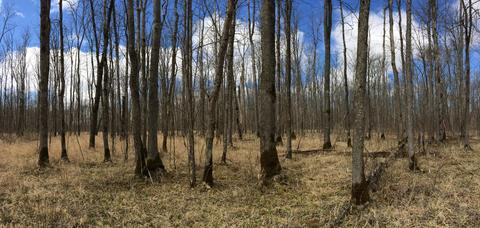 Stand of leafless black ash trees in Chippewa National Forest