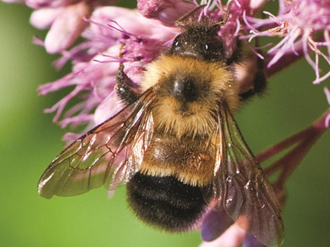 Bombus affinis bumble bee