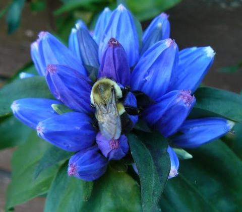 Closeup of a bee on a blue flower with many petals and green leaves in a garden