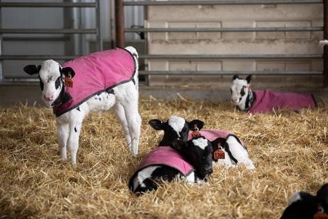 Four calves with pink blankets on, in a barn full of hay.