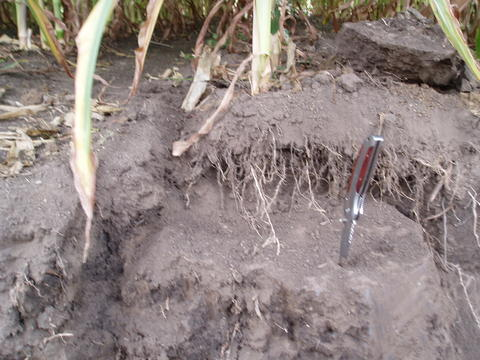 Caved in soil by corn stalk roots. Pocket knife blade stuck in hard soil.