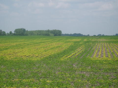 soybean filed with light green and dark green plants.